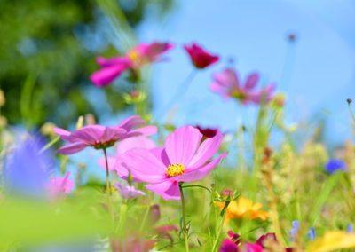 bunte Blumenwiese - Wildblumen